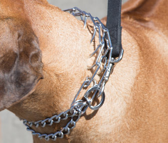 Dog wearing prong collar