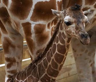 Baby giraffe debuts at Como Zoo