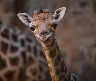 Zahra, a rare Rothschild's giraffe, was born at the Chester Zoo on Dec. 22.