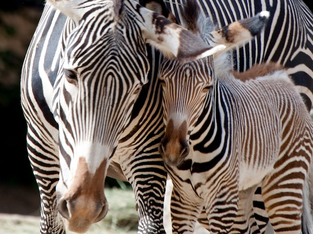 Zebra foal at Denver Zoo