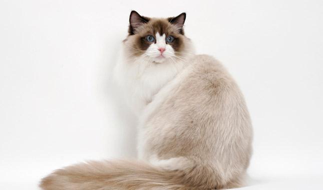 Ragdoll macska a győri Dunacenterben április 7-8 macskakiállítás