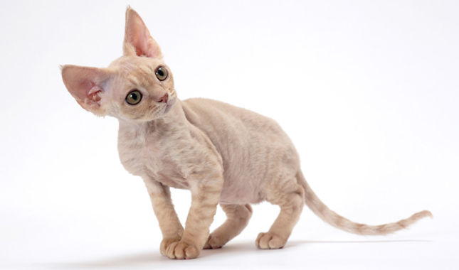 Devon Rex Cat Breed Information