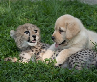 Emmett the cheetah cuddles with his new pal, Cullen the puppy.