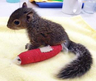 A baby squirrel got a cast on her broken ankle after falling 75 feet from her nest.