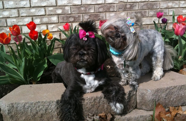 Zoe and Pebbles the Shih Tzus in the garden