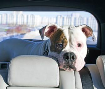 Dog loose in car