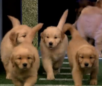 Jimmy Fallon's Puppy Predictors run out to make their selection for the NFL's kickoff game.