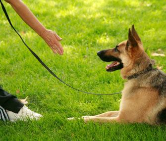 Teach your dog the down command