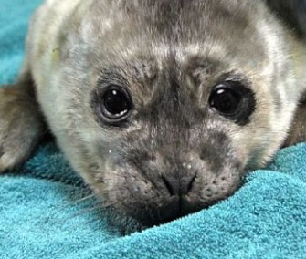 Yule, a harbor seal pup, was just days old when he was found abandoned on the California coast.