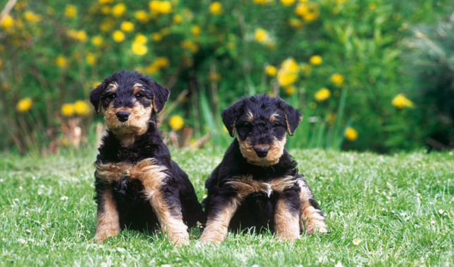 airedale terrier breeders airedale terrier breed information 7595