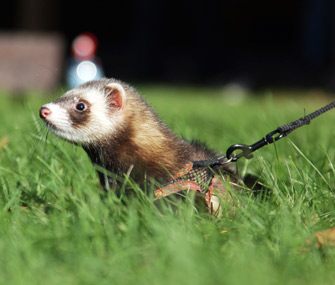Ferret on a leash