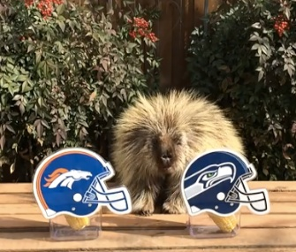 Teddy Bear the talking porcupine makes his Super Bowl prediction.