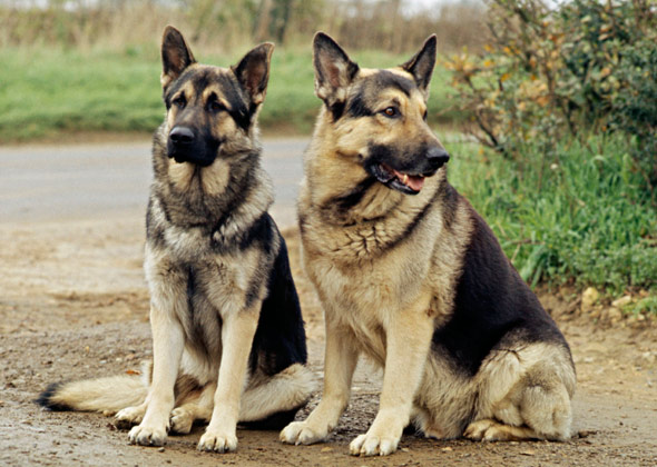 10 Most Cat Friendly Dog Breeds