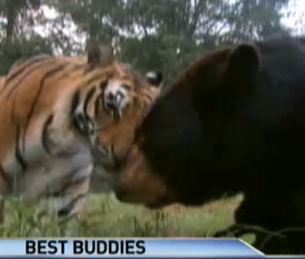 Shere Kahn the tiger snuggles with Baloo the bear.