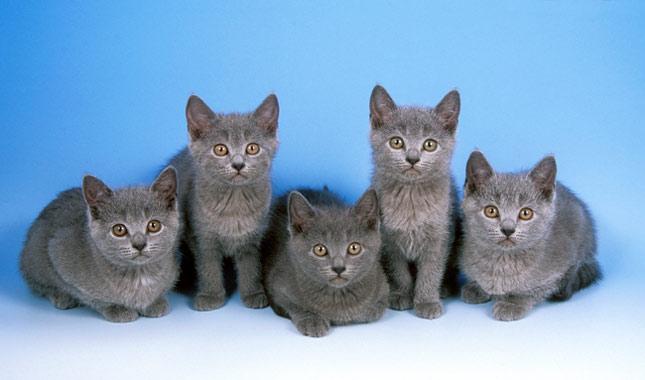 chartreux cat breed information. Black Bedroom Furniture Sets. Home Design Ideas