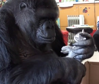 Koko the gorilla got two kittens for her 44th birthday, including Ms. Gray, who's pictured here.