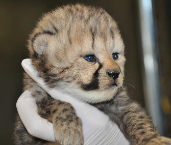 This cub is one of 10 baby cheetahs born at the Smithsonian Conservation Biology Institute in Front Royal, Va.