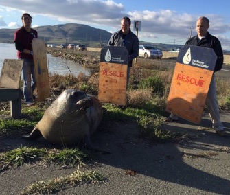Tolay, a pregnant and stubborn elephant seal, was moved to a safe beach area in California.