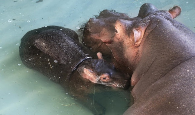 A baby common hippo at the Whipsnade Zoo in the U.K.