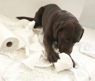 When Will My Labrador Stop Chewing on Everything?