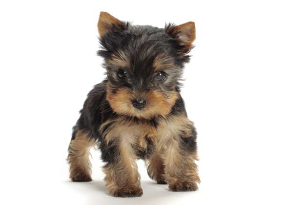 Best Dog Breed For First Time Pet Owners