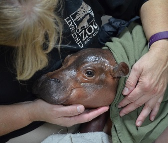 The animal care team at the Cincinnati Zoo is providing around the clock care for a hippo born 6 weeks early.