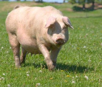 Full-grown pig