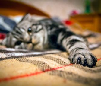 Cat's paw in focus