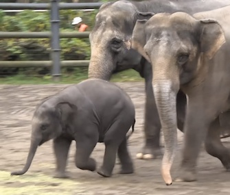 The Oregon Zoo takes a look back at Lily the elephant's first year.