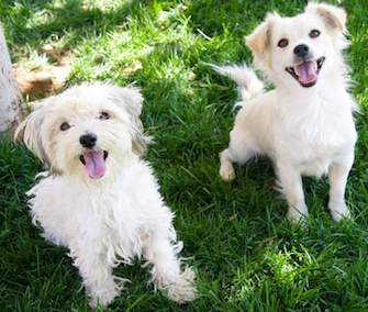 Bonded dogs Monica and Chandler were rescued from the streets of Los Angeles.