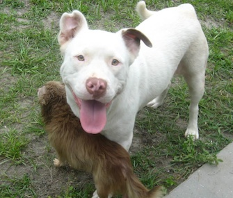 Joanie, a white Pit Bull mix, was found caring her injured Chihuahua friend, Chachi.