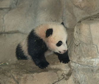 The National Zoo's panda cub met adoring crowds for the first time over the weekend.