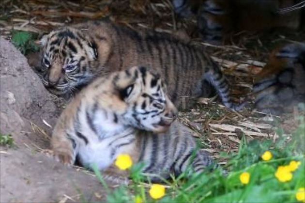Chester Zoo Sumatran tiger cubs