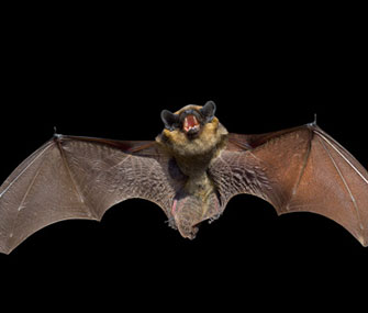 A new study finds bats use their calls to court mates.