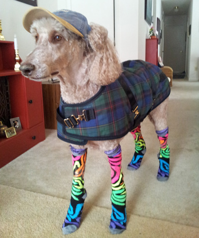 Dog in Rain Outfit
