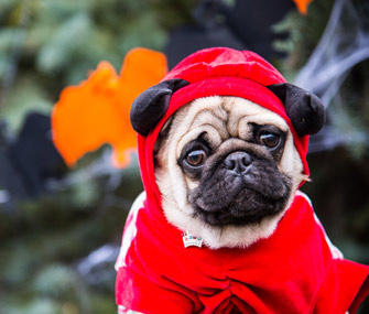 Pug in Halloween costume
