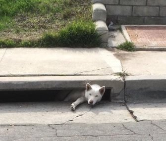 Bella, a 1-year-old Siberian Husky, was rescued from a storm drain in San Diego.