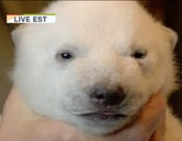 Siku the polar bear