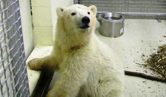 Orphaned polar bear at the Assiniboine Park Zoo