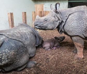 Kiran, a male calf, was born last week while his big sister stood by.