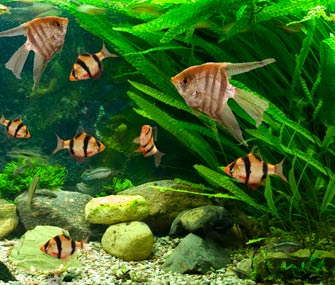 Expert tips for freshwater aquarium setup and care for Good community fish