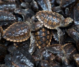 Loggerhead sea turtle hatchlings released in Boca Raton, Florida