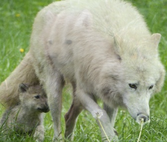 One of the five pups explores with its mom in Denmark.