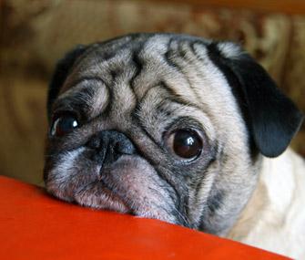 Senior Pug