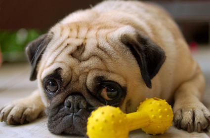Pug with sad look