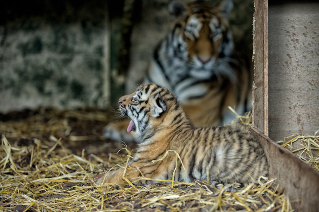 Tiger cubs named after Andy Murray