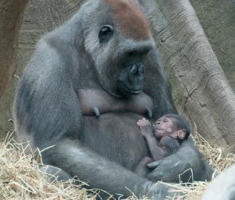 One of the Bronx Zoo's newborn western lowland gorillas cuddles with its mom.