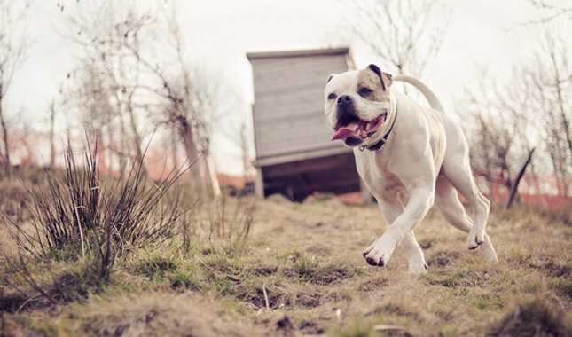 American Bulldog Breed Information