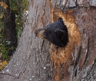 Officials in Wisconsin helped free two bear cubs who were trapped inside a tree.