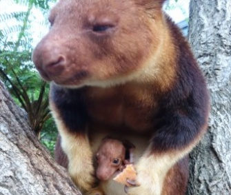 A 6-month-old female tree kangaroo peeks out of her mother's pouch at the Taronga Zoo.